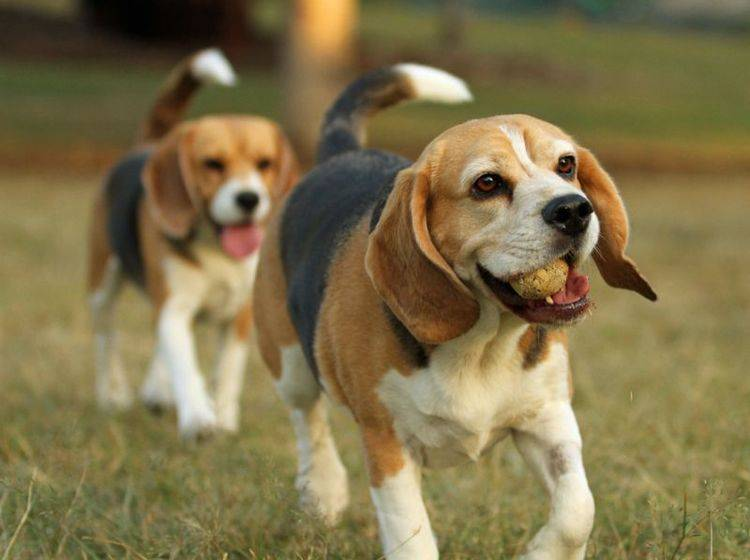 Der Beagle: Ein kleiner Hund, der sich in Gesellschaft am wohlsten fühlt — Bild: Shutterstock / Ross Stevenson