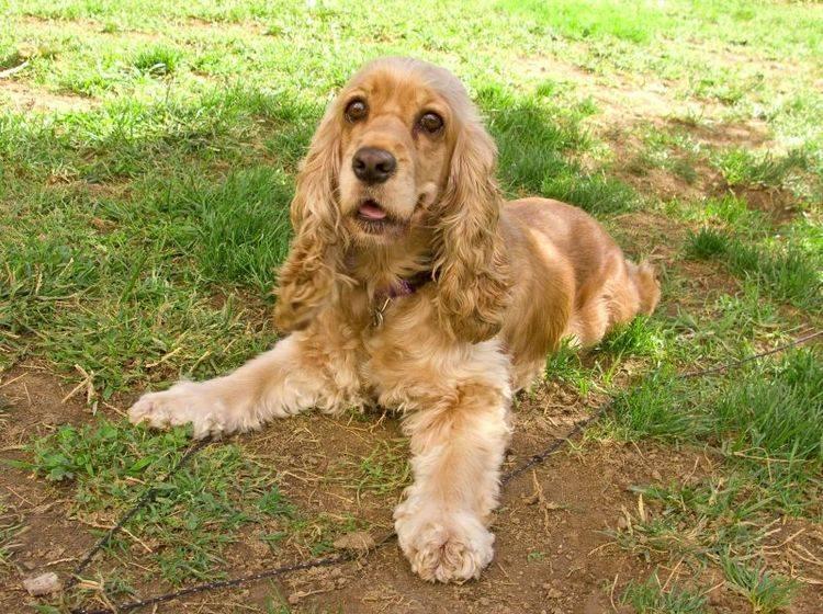 Manche Hunde wie der Cocker Spaniel leiden rassebedingt häufig unter Bindehautentzündung — Bild: Shutterstock / Ingrid Prats