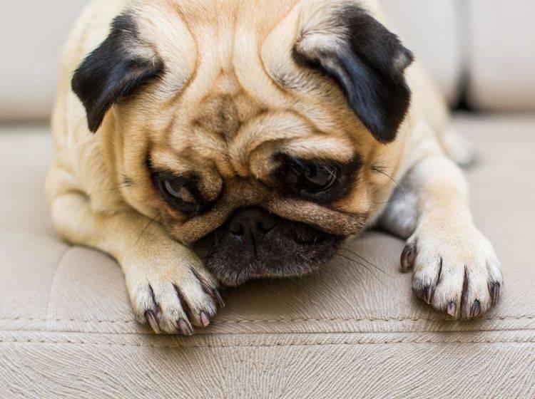 Angst vor Silvester: Für manche Hunde ein großes Problem — Bild: Shutterstock / spilman