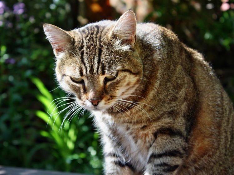Wenn Katzen erbrechen hilft oft Schonkost und viel Wasser — Bild: Shutterstock / Adam J