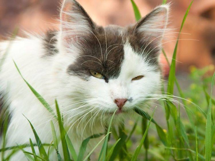 Erbrechen bei Katzen: Viele Ursachen sind ungefährlich — Bild: Shutterstock / TalyaPhoto