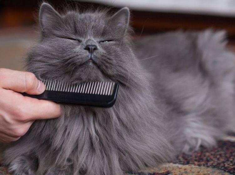 Haarballen bei Katzen vorbeugen: Regelmäßiges Bürsten hilft — Bild: Shutterstock / Jakub Zak