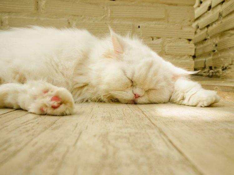 Behandlung von Katzen mit Rolling Skin Syndrom: Stress ist Gift! — Bild: Shutterstock / icyyoke