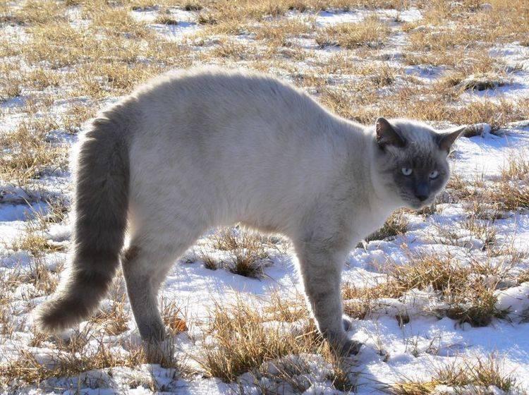 Das Rolling Skin Syndrom tritt häufig bei Siamkatzen und anderen sensiblen Rassen auf — Bild: Shutterstock / Brenda Carson