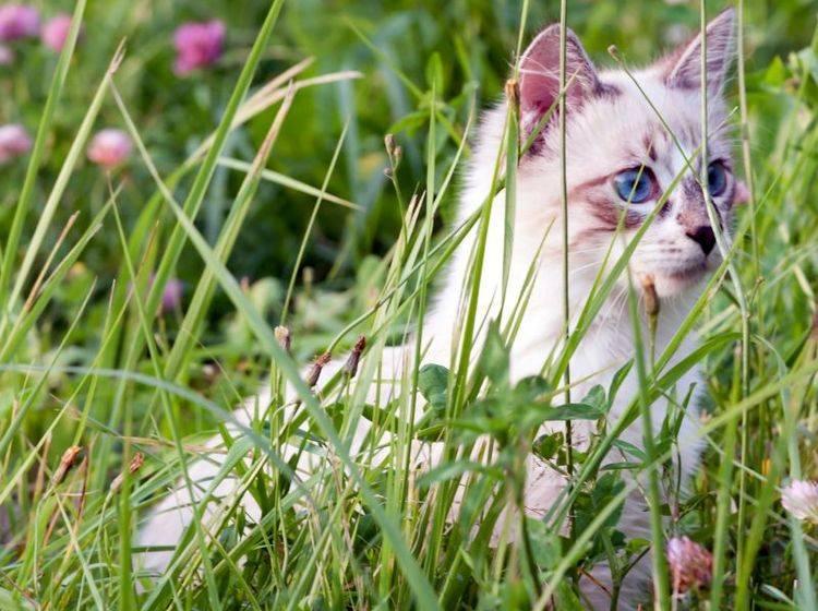 Freigänger-Katzen werden vor allem im Frühling rollig – Bild: Shutterstock / Ivan1981Roo