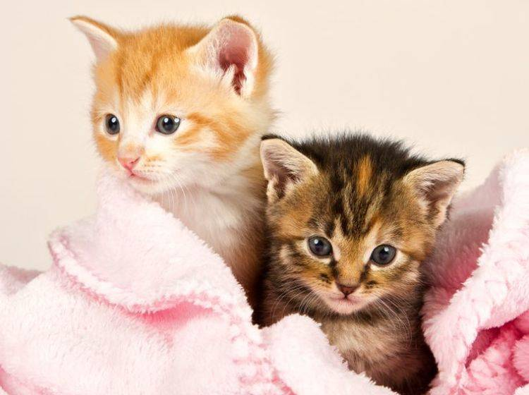 Diese beiden Katzenbabys kuscheln sich am liebsten zusammen in ihre rosa Lieblingsdecke – Bild: Shutterstock / Alta Oosthuizen