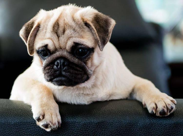 Beliebt und pflegeleicht: Der Mops als Familienhund — Bild: Shutterstock / Sanchai Suksantidilog