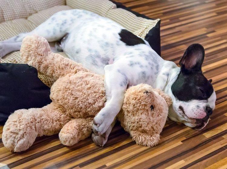 Französische Bulldogge kuschelt mit Teddybär - Bild: Shutterstock / Patryk Kosmider