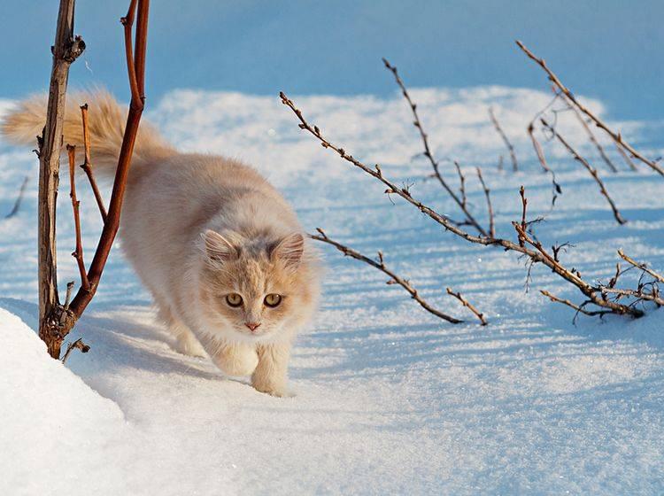 Nicht alle Freigänger trotzdem im Winter gerne Eis und Schnee – Bild: Shutterstock / Toluk