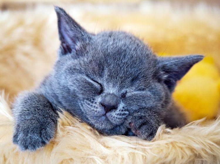 HCM bei Katzen: Bestimmte Rassen sind besonders anfällig – Bild: Shutterstock / Bildagentur Zoonar GmbH