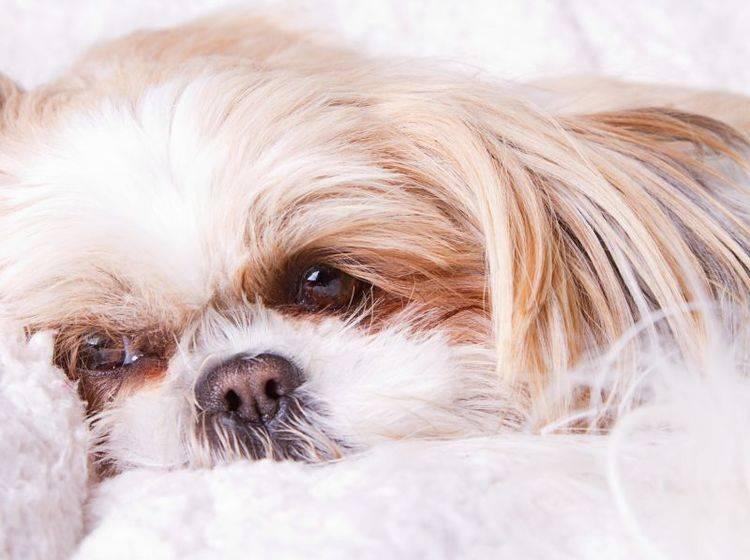 Wenn der Hund hustet braucht er Ruhe – Bild: Shutterstock / Jenn Huls