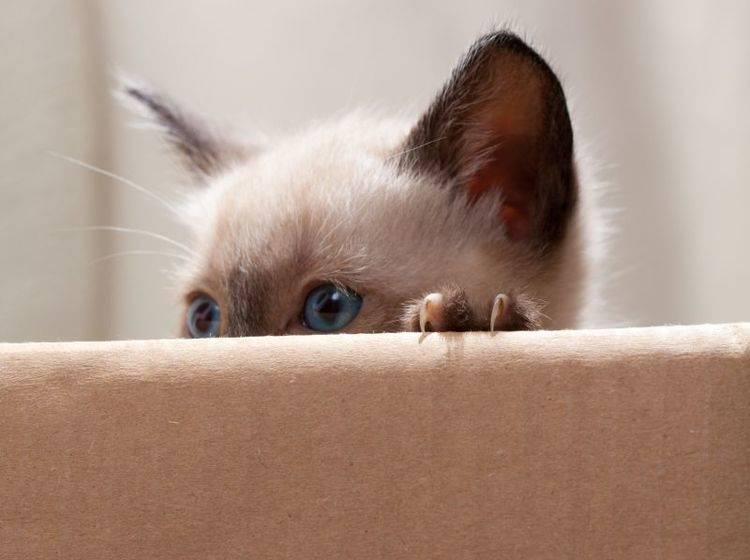 Kratzvergnügen für Katzen mit Spielzeug aus Pappe – Bild: Shutterstock / TranceDrumer