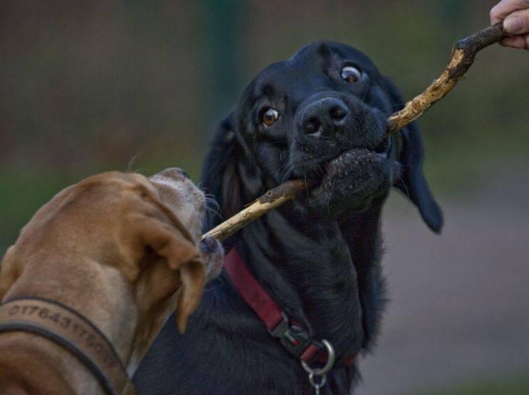 Eifersucht bei Hunden ist meist ein Fall von ungeklärter Rangordnung – Bild: Shutterstock / macgyverhh