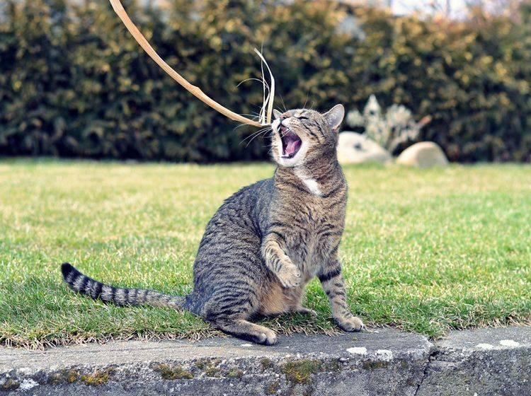 Verspielte Katze an der Angel - Bild: Shutterstock / DavidTB