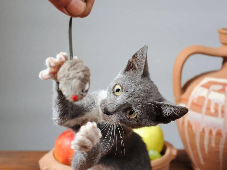 Egal ob klein oder groß - Beutefang-Spiele lieben alle Katzen - Bilder: Shutterstock / dragi52