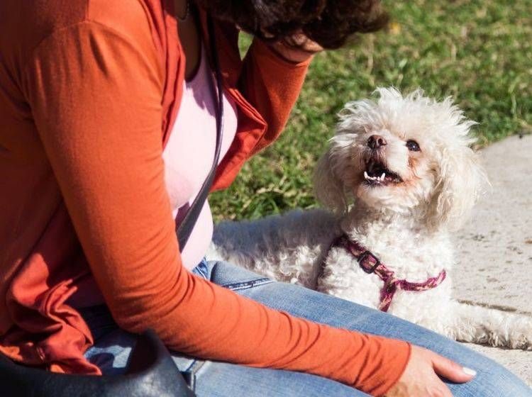 Der Pudel ist beliebt bei Menschen mit einer Allergie gegen Hunde – Bild: Shutterstock / Christian Mueller