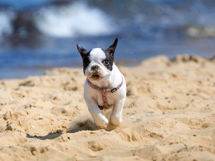 Kann auch mal ordentlich Gas geben:Die französische Bulldogge – Bild: Shutterstock / Patryk Kosmider
