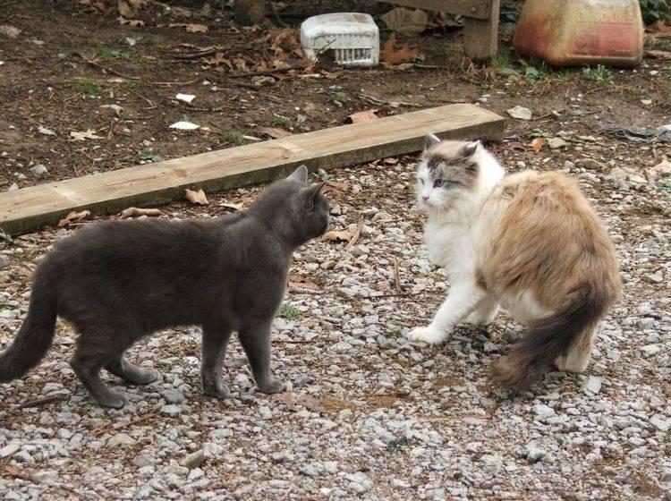 Aggressive Katze: Meist riecht der Artgenosse plötzlich anders – BIild: Shutterstock / Sarah Cates