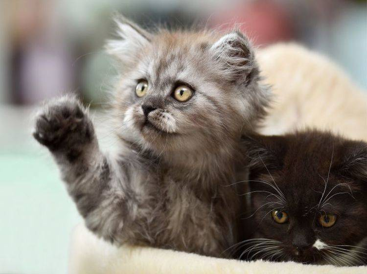 Eifersucht bei Katzen vorbeugen: Spielen wirkt oft Wunder – Bild: Shutterstock / fotata