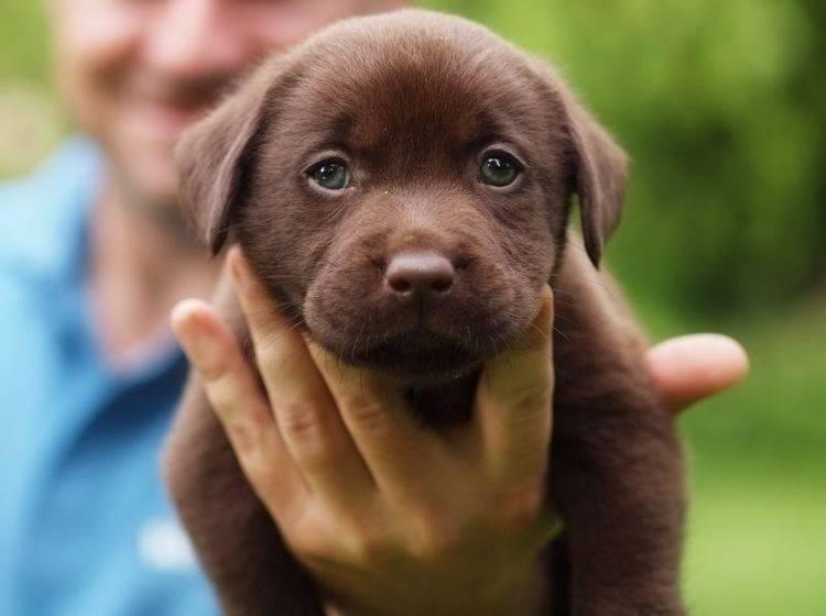 Wie süß: So sieht der schokobraune Labrador in ganz klein aus – Bild: Shutterstock / Zdenek Fiamoli