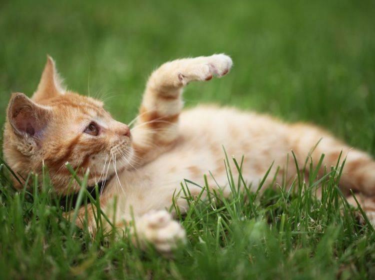 Kätzchen spielt im Gras – Bild: Shutterstock / Magdalena Kucova