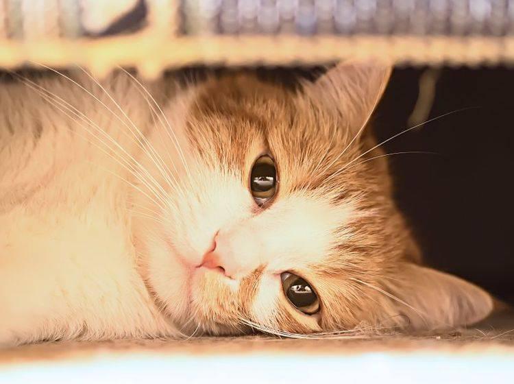 Verhalten bei Eifersucht: Viele Katzen ziehen sich zurück – Bild: Shutterstock / Nikolay Bassov