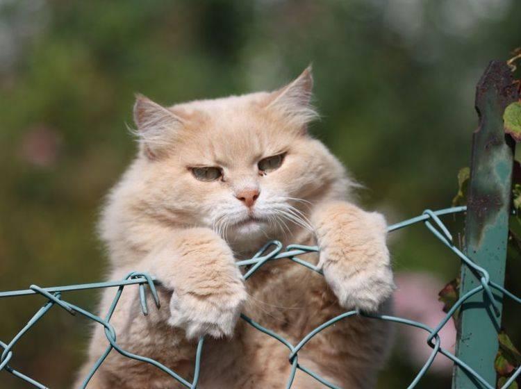 Übergewicht ist ungesund für Katzen und schränkt sie enorm ein – Bild: Shutterstock / Rachele Totaro IT