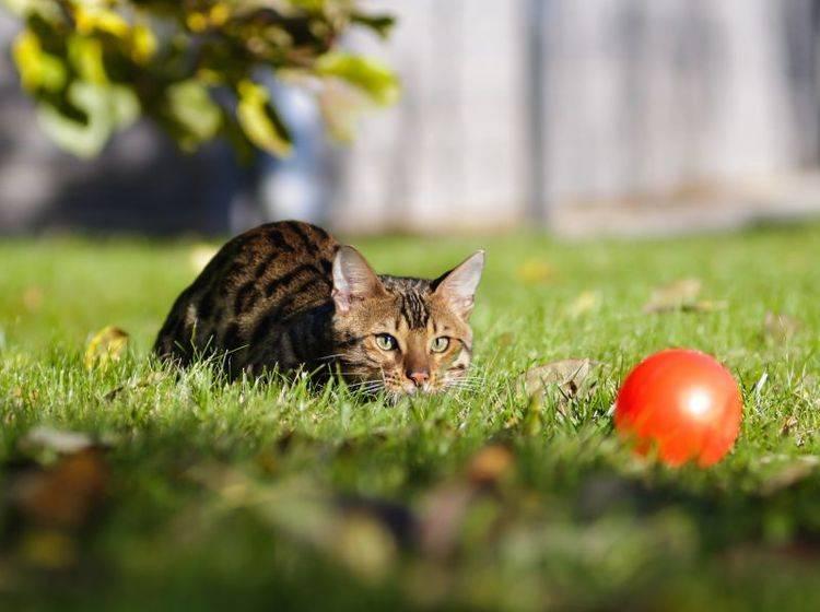 Verspielt, verschmust, verliebenswert: Die Bengal Katze – Bild: Shutterstock / Anna Tyurina