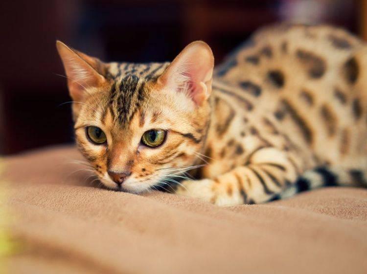 Welcher Katzenname passt zu einem Bengalen? – Bild: Shutterstock / Shvaygert Ekaterina