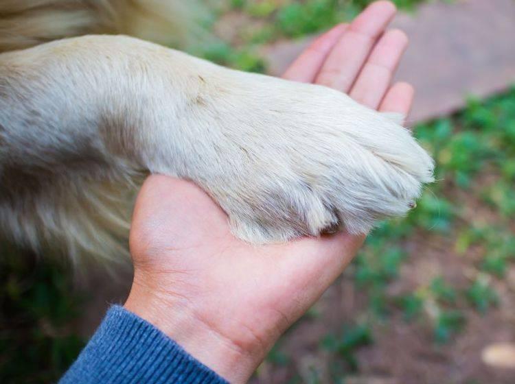 Eine abgebrochene Kralle ist für den Hund sehr unangenehm – Bild: Shutterstock / kridsada tipchot