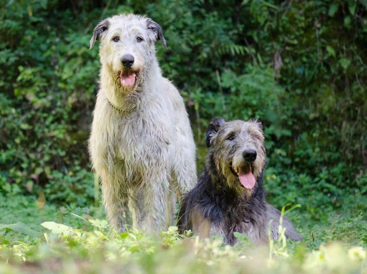 Irische Wolfshunde wurden vor allem als Jagdhunde gezüchtet – Bild: Shutterstock / Jana Oudova