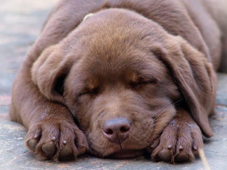Hundewelpen adoptieren: Zwölf Wochen ist ein gutes Alter – Bild: Shutterstock / Zeljko-Radojko