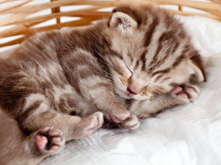 So klein und so müde: Britisch Kurzhaar mit wunderschönem Tabby Muster – Bild: Shutterstock / Oksana Kuzmina