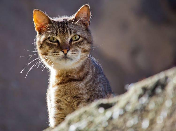 Die scharfen Sinne einer Katze helfen ihr bei der Suche nach dem Weg nach Hause – Bild: Shutterstock / Christian Mueller