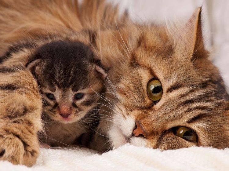 Katzenbabys brauchen den Schutz und die Erziehung ihrer Katzenmutter – Bild: Shutterstock / Lubava