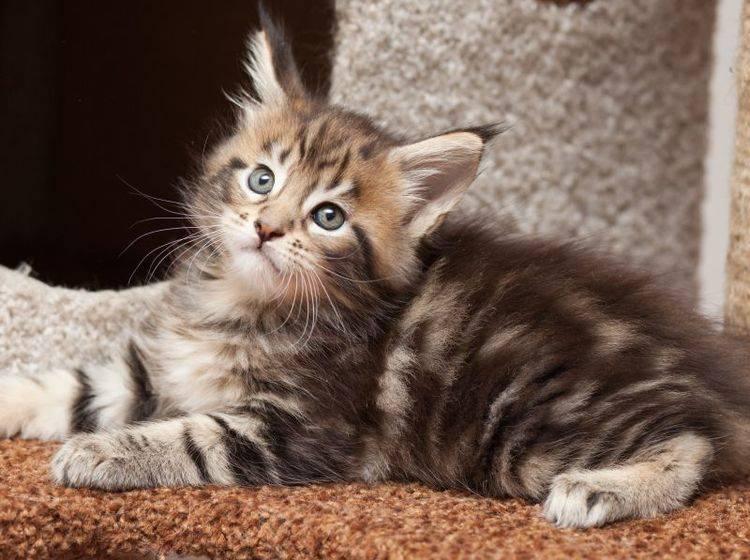Die Maine-Coon-Katze ist eine liebevolle und ausgeglichene kleine Samtpfote – Bild: Shutterstock / dkphoto24