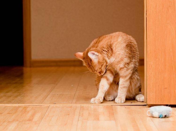 Übermäßiges Putzen führt bei Katzen zu kahlen Stellen im Fell – Bild: Shutterstock / foaloce