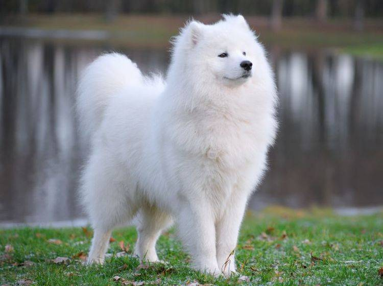 Der Samojede: Ein schöner und freundlicher Hund – Bild: Shutterstock / AnetaPics