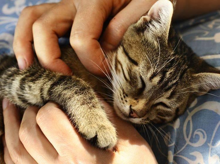 Eine schnurrende Katze hat eine positive Wirkung auf den Menschen – Bild: Shutterstock / Vinogradov Illya