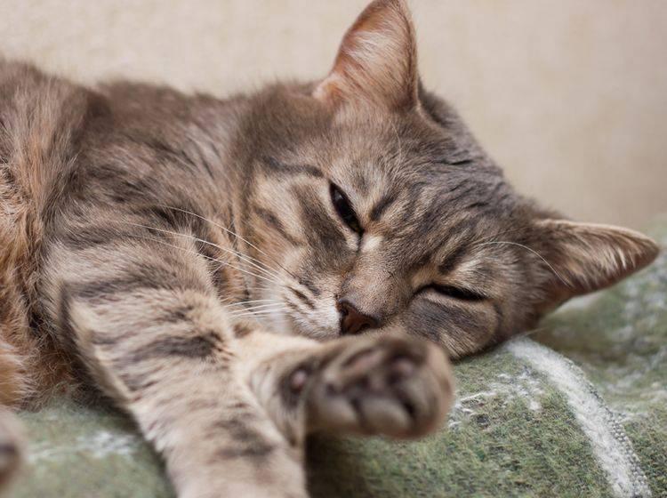 Symptome der Verstopfung bei Katzen – Bild: Shutterstock / Katerina Maksymenko