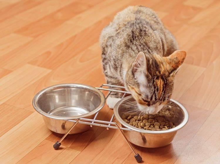 Mit Nahrungsergänzung kann die Katze im Fellwechsel unterstützt werden – Bild: Shutterstock / Poprotskiy Alexey