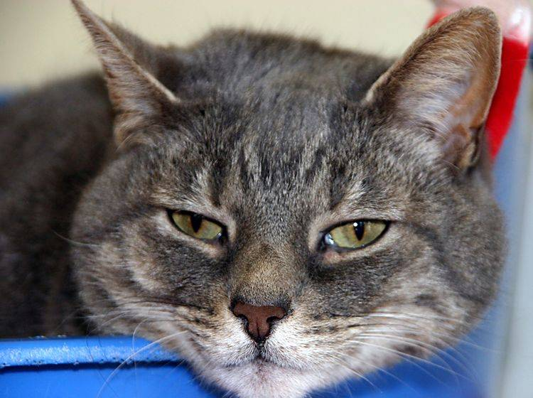 Katzen mit Verstopfung: Mögliche Ursachen – Bild: Shutterstock / Anna Dickie