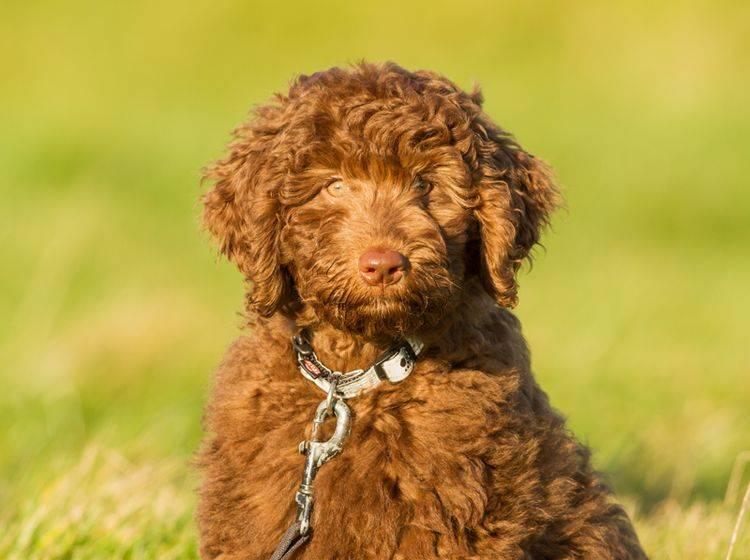 Labradoodle: Geschichte des Allergikerhundes – Shutterstock / Peter Louwers