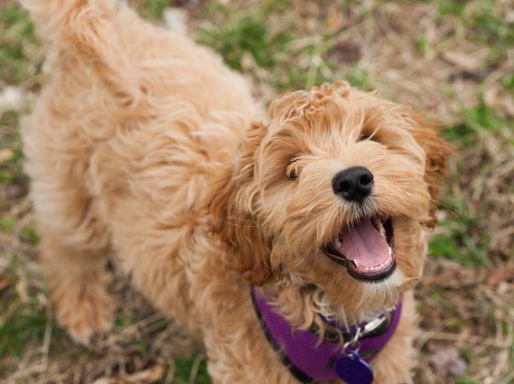 Allergikerhund Labradoodle: Charakter – Bild: Shutterstock / jadimages