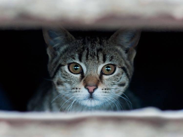 Wie Sie Ihrer ängstlichen Katze die Scheu nehmen – Bild: Shutterstock / igor.stevanovic