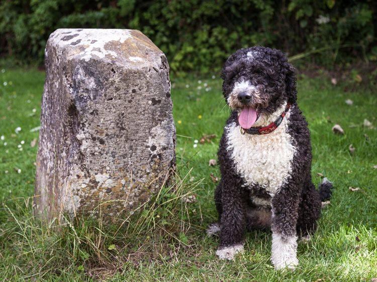 Es gibt auch zweifarbige Spanische Wasserhunde – Bild: Shutterstock / Daz Brown Photography