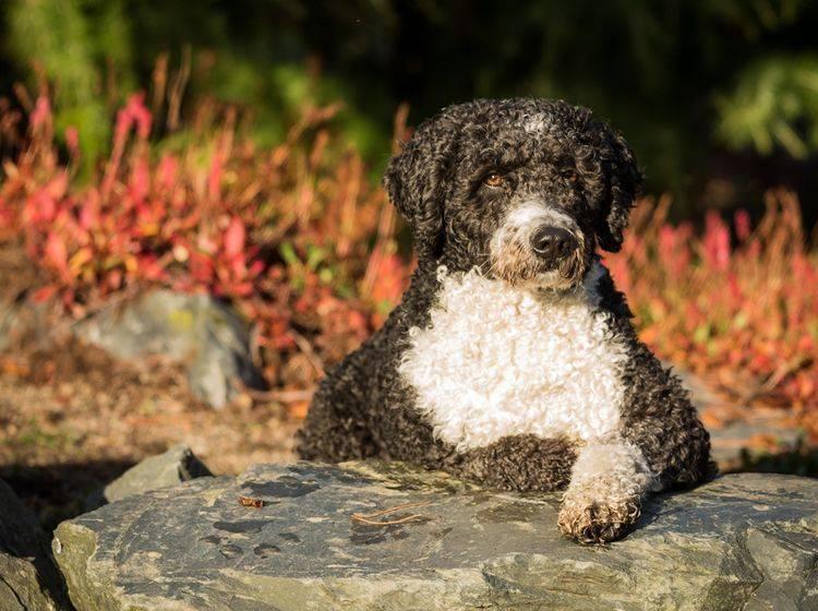 Spanische Wasserhunde sind enge Verwandte der Portugiesischen Wasserhunde – Bild: Shutterstock / Daz Brown Photography