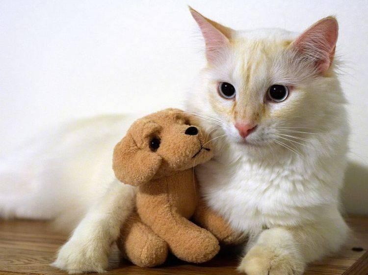 Eine Scheinschwangerschaft erweckt bei der Katze Muttergefühle – Bild: Shutterstock / Wesley-Aston