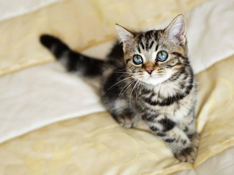 Wenn junge Katzen geschlechtsreif werden, fangen sie oft an zu markieren – Bild: Shutterstock / Denis Tabler