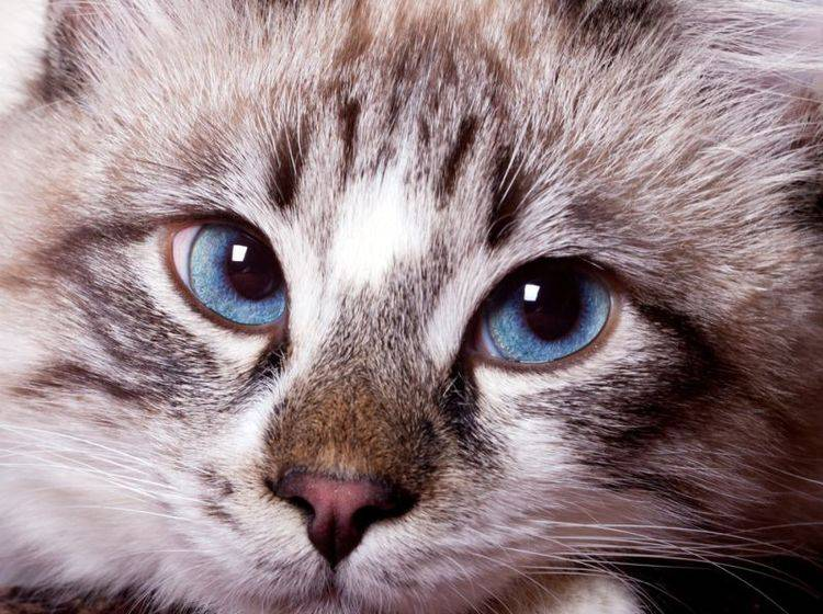 Stress kann bei Katzen zu plötzlicher Stubenunreinheit führen – Bild: Shutterstock / Ivan1981Roo